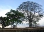 Bäume am Chayo Phraya Ufer